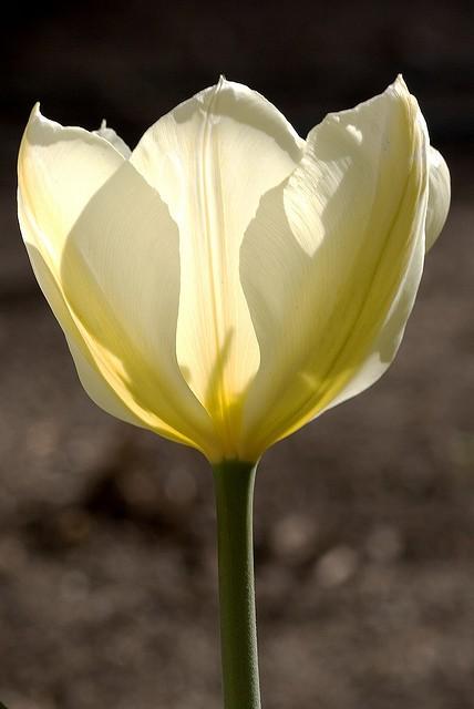 Fleur printanière de profil